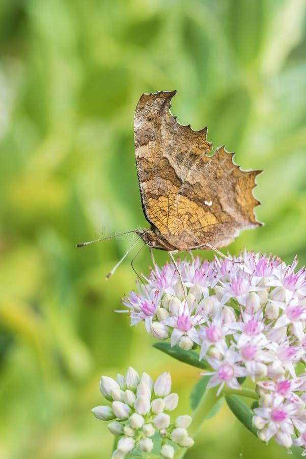 Motyla i kwiatu zakończenie obraz royalty free