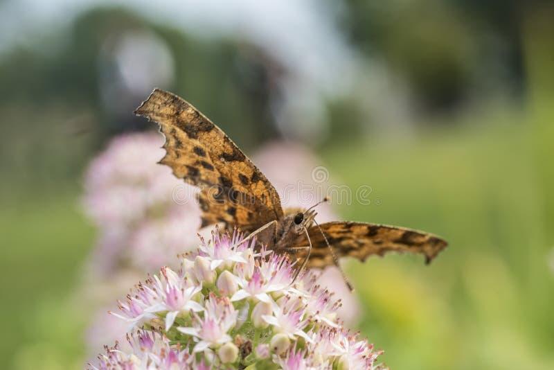 Motyla i kwiatu zakończenie zdjęcia royalty free