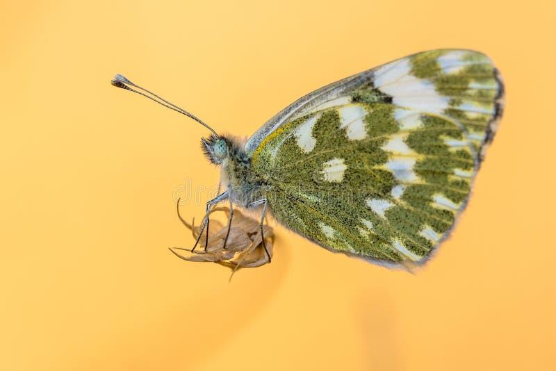 Motyla Kąpielowy biel z pomarańczowym tłem obrazy stock