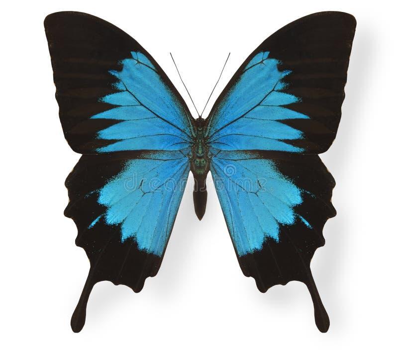 motyla odosobniony Ulysses biel obraz stock