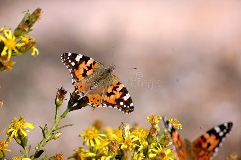 motyle krzaków obrazy stock