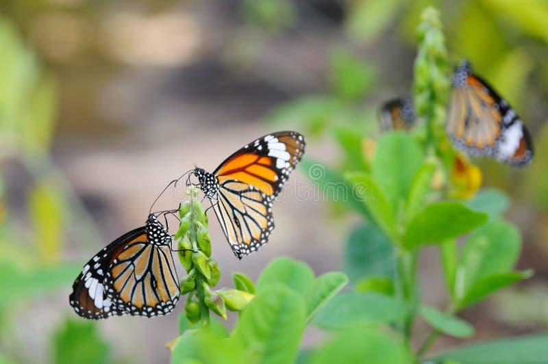 motyle monarchiczni obraz stock