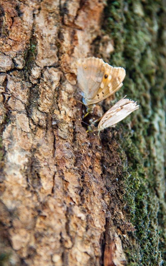 Motyle na cortex obrazy royalty free