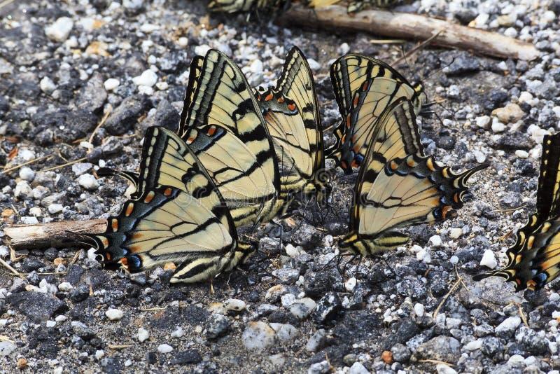 Motyle Puddling na żwir ziemi dla soli fotografia stock