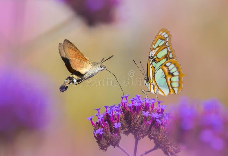 Motyle ssa nektar od kwiatu obraz royalty free