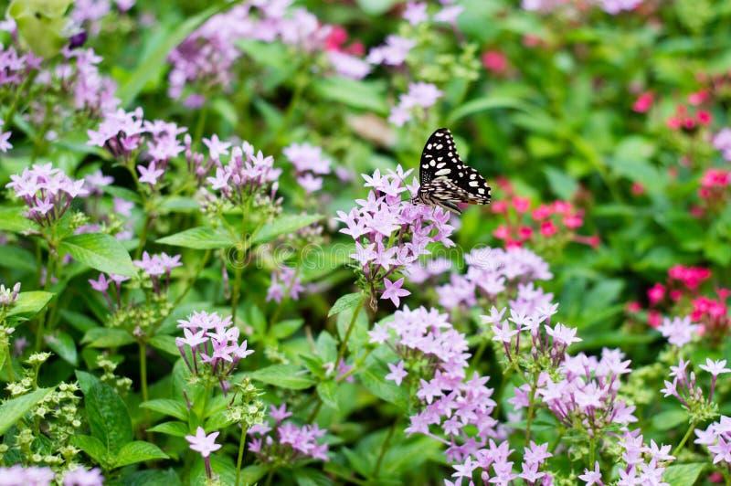 Motyle ssają nektar przy purpurowymi kwiatami fotografia royalty free