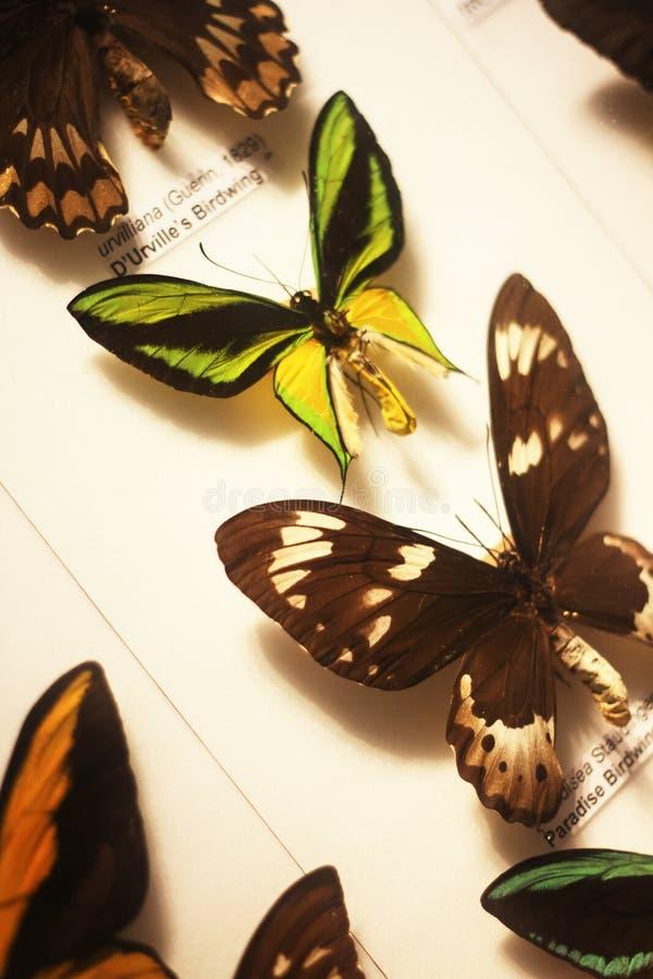 Motyle tropikalni i wspinający się obraz royalty free