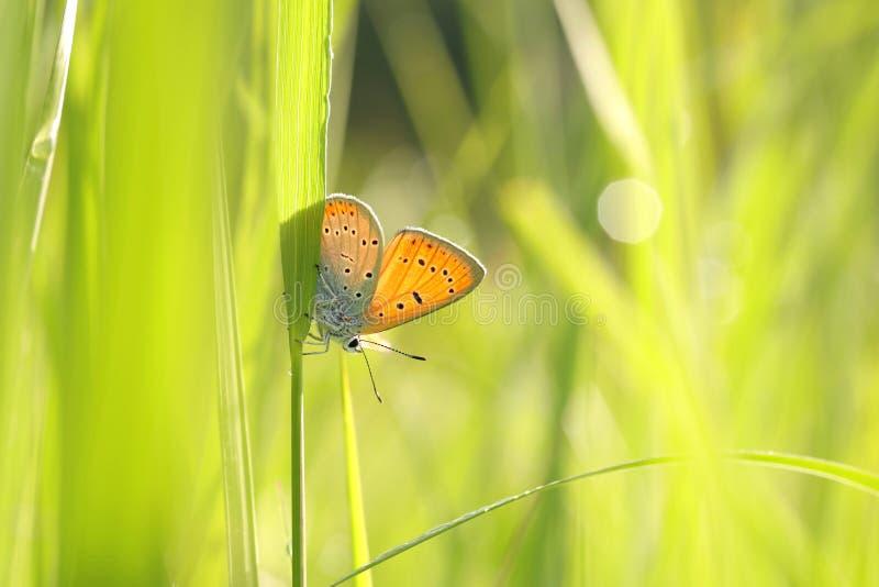 Motyli ampuła groszak - Lycaena dispar na pogodnym wiosna ranku zdjęcia stock