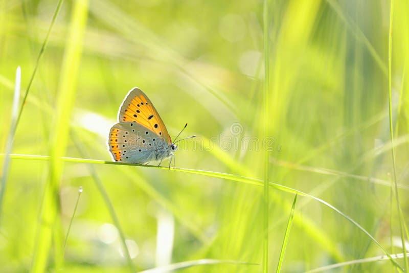 Motyli ampuła groszak - Lycaena dispar na pogodnym wiosna ranku zdjęcie royalty free