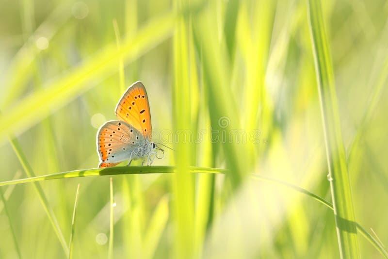 Motyli ampuła groszak - Lycaena dispar na pogodnym wiosna ranku obraz stock