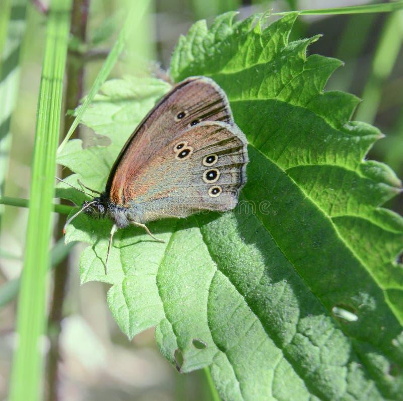 Motyli Aphantopus hyperantus w gąszczach na pokrzywowym liściu Lato gor?cy dzie? zdjęcie royalty free