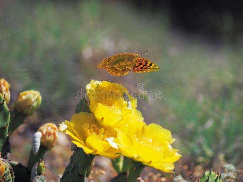 Motyli Argynnis przy kaktusowym okwitnięciem fotografia stock