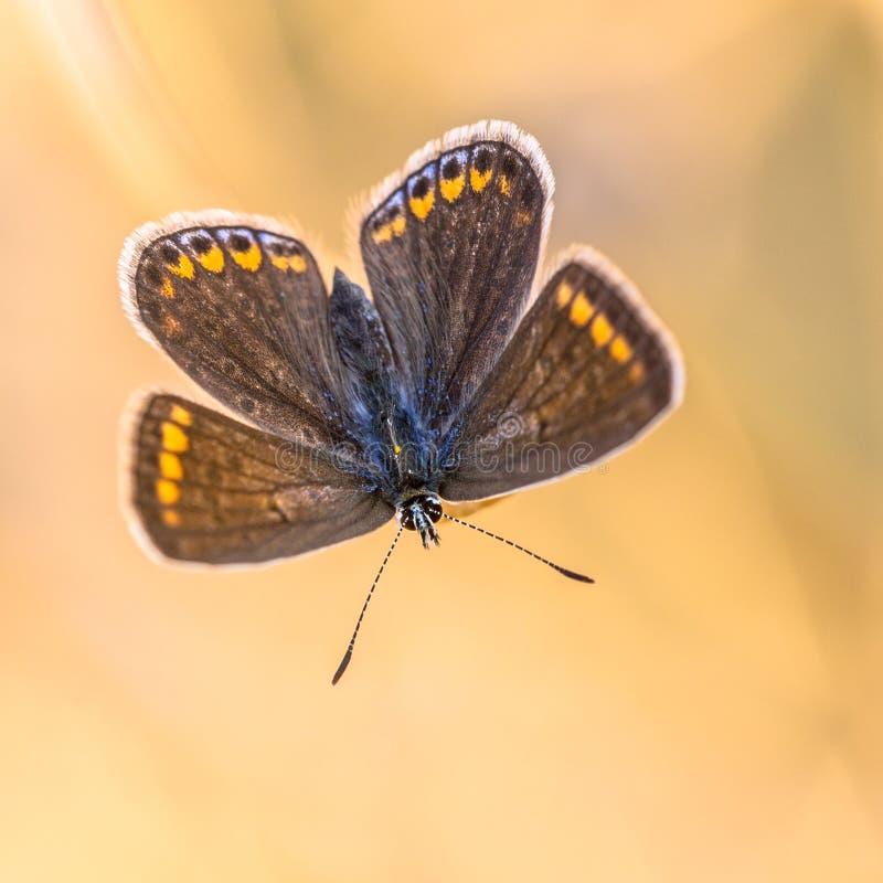 Motyli brown Argus na pomarańczowym tle obrazy royalty free