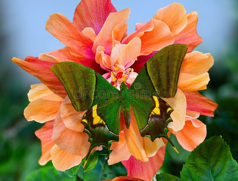 Motyli cesarz India lub Teinopalpus na pomarańczowym poślubniku zdjęcia royalty free