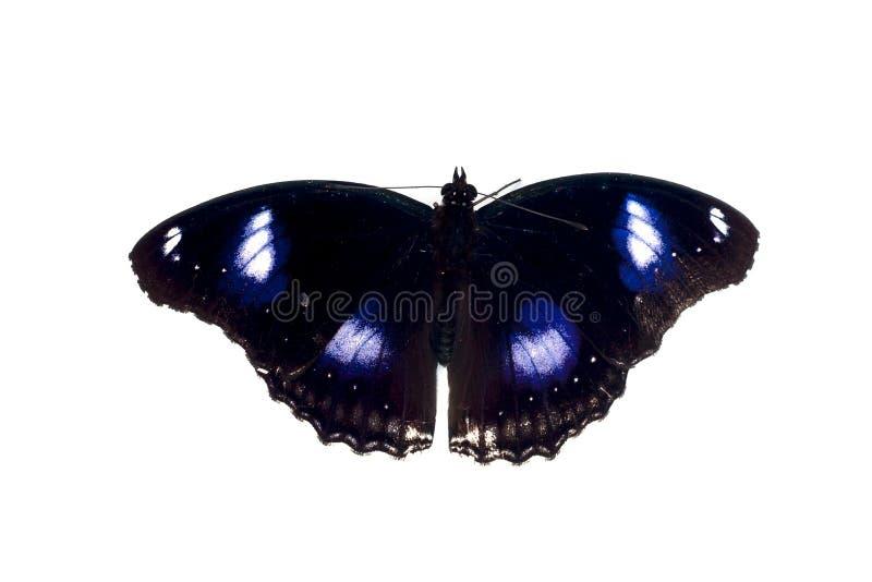 Motyli czarny błękitny punkt zdjęcie royalty free