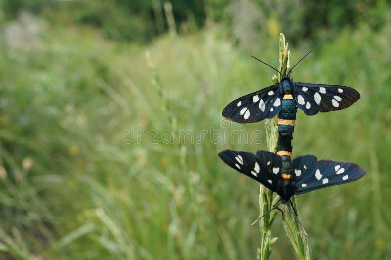 Motyli czarny i biały na trawie fotografia royalty free