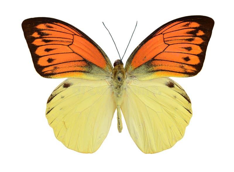 Motyli czerwony kolor żółty zdjęcia stock