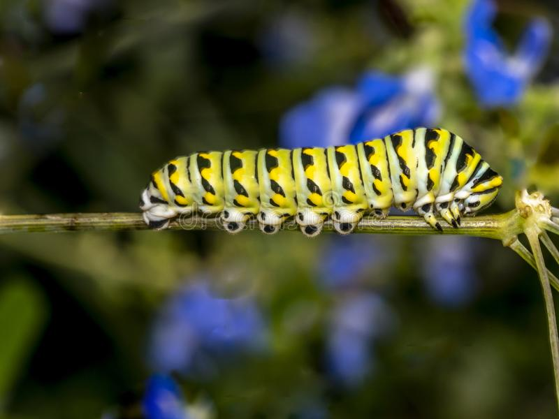 motyli danaus monarcha plexippus fotografia stock