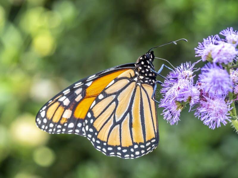 motyli danaus monarcha plexippus obrazy stock