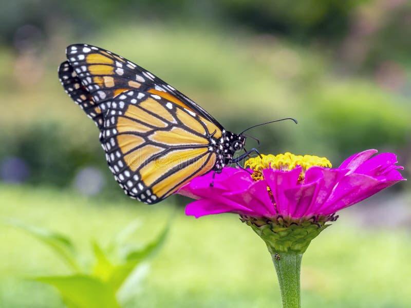motyli danaus monarcha plexippus fotografia royalty free