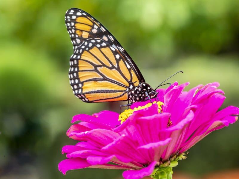 motyli danaus monarcha plexippus zdjęcia stock