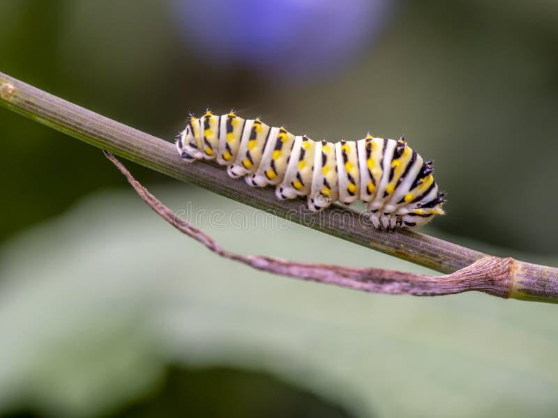 motyli danaus monarcha plexippus obrazy royalty free