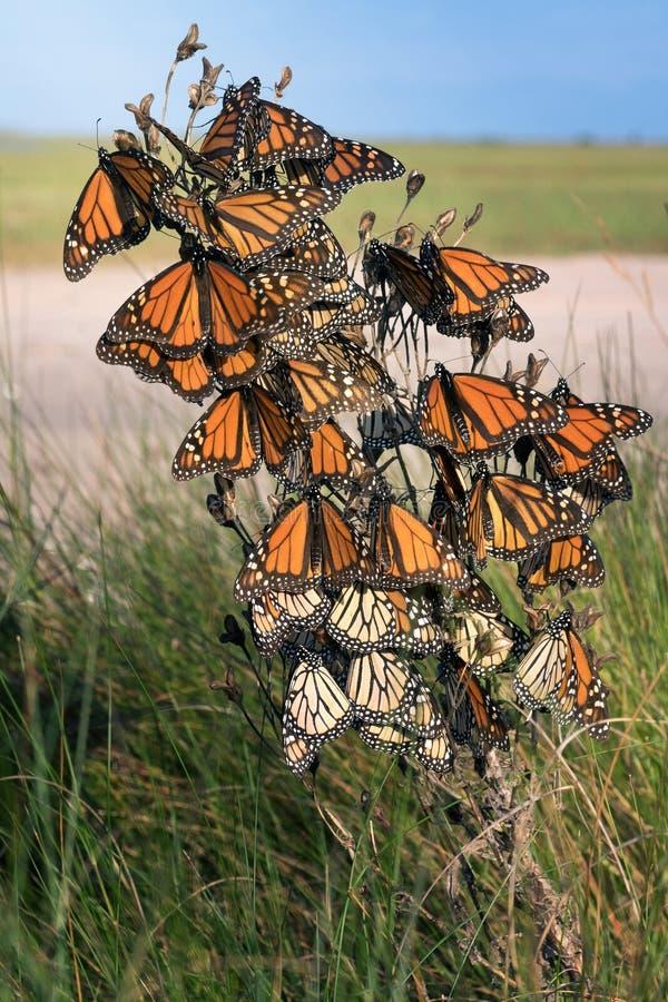 motyli danaus monarcha plexippus Motyla czekanie za str obrazy stock