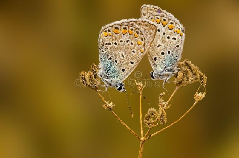 Motyli dosypianie obrazy stock