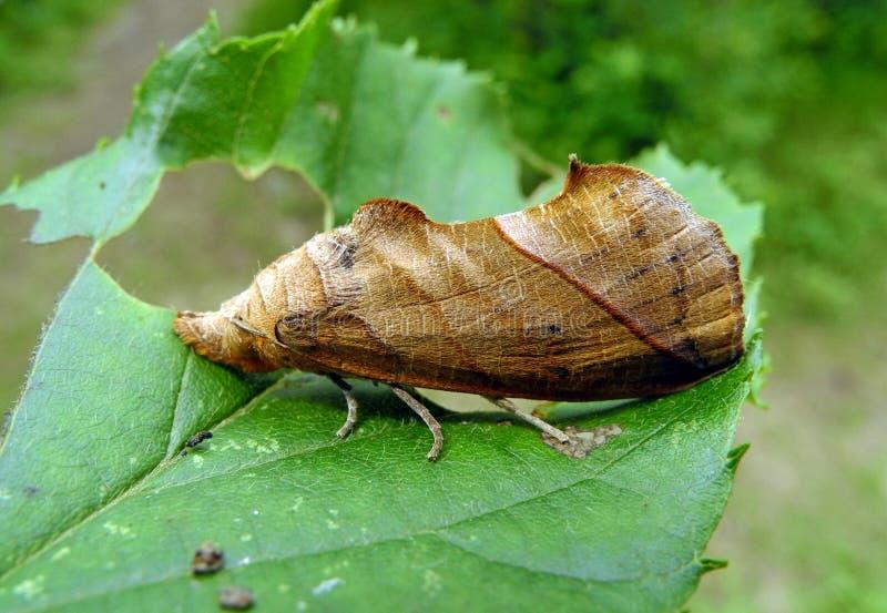 Motyli Eudocima tyrannus zdjęcie stock