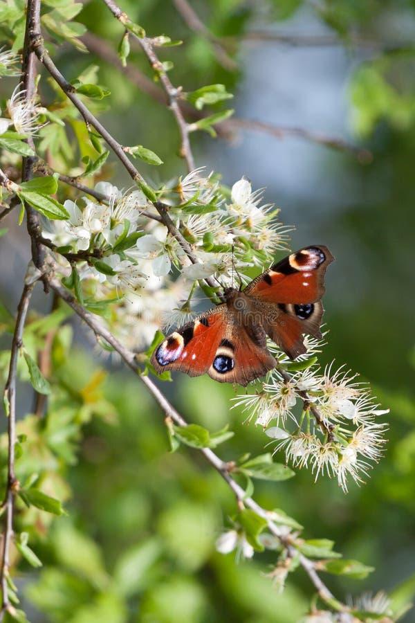 motyli europejski inachis io paw zdjęcia royalty free