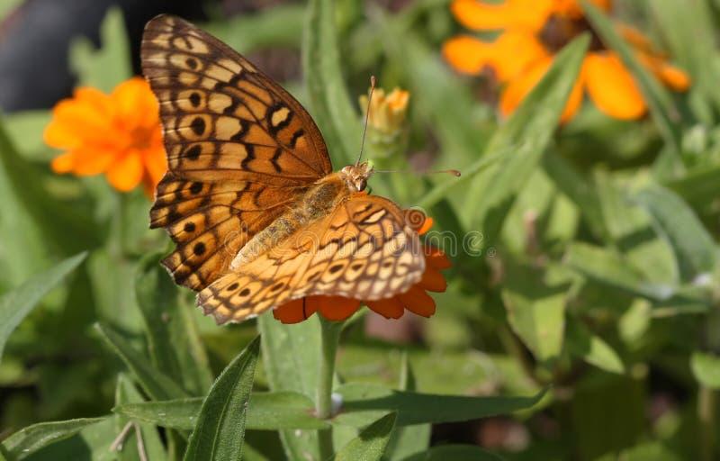 motyli frittilary różnobarwny zdjęcie stock