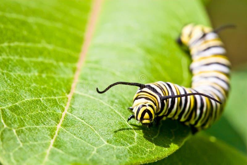 motyli gąsienicowy monarcha obraz stock