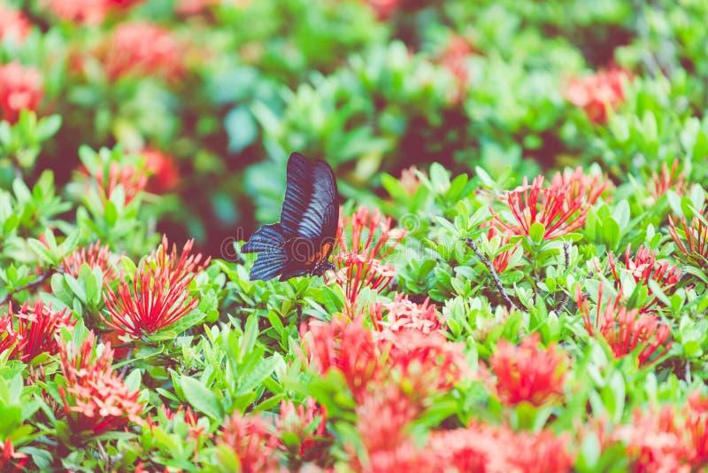Motyli i Tropikalny kwiat, Makro- zbliżenie Czarny i biały cętkowane motyl wspinaczki nad różowymi kwiatami, zakończenie zdjęcie royalty free