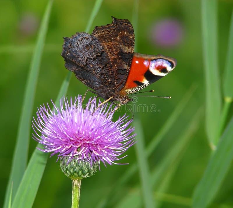 motyli inachis io zdjęcia stock