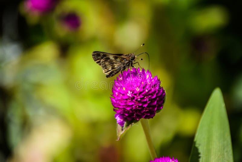 Motyli karmienie na kwiacie zdjęcie royalty free