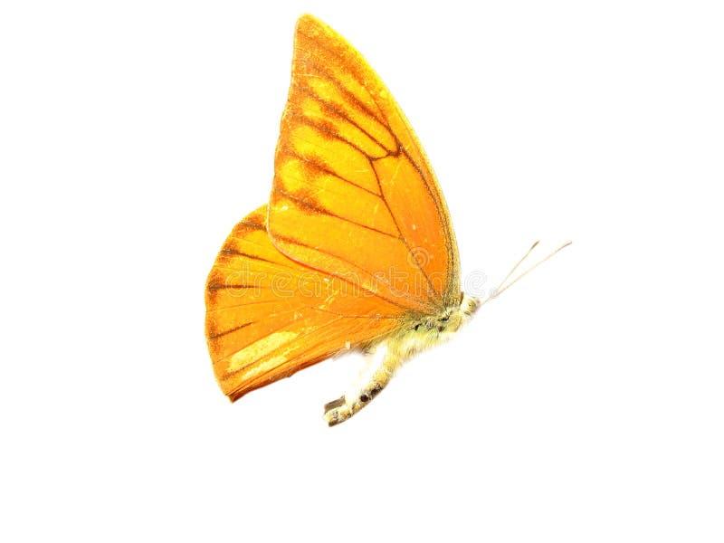 motyli kolor żółty fotografia royalty free