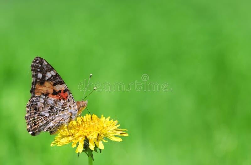 motyli kwiat zdjęcia royalty free
