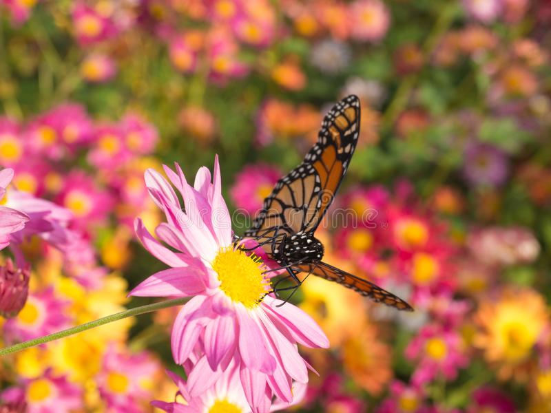 Motyli lądowanie na Różowych Mums Kwitnie w ogródzie zdjęcie royalty free