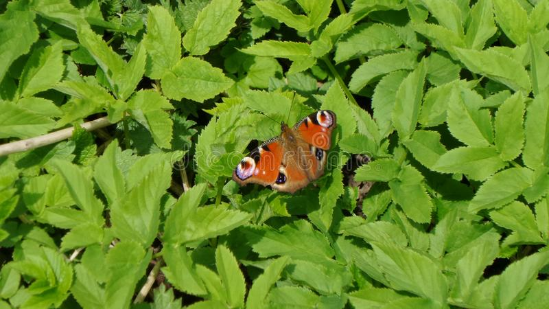Motyli miejsca siedzące na zielonych liściach obrazy royalty free