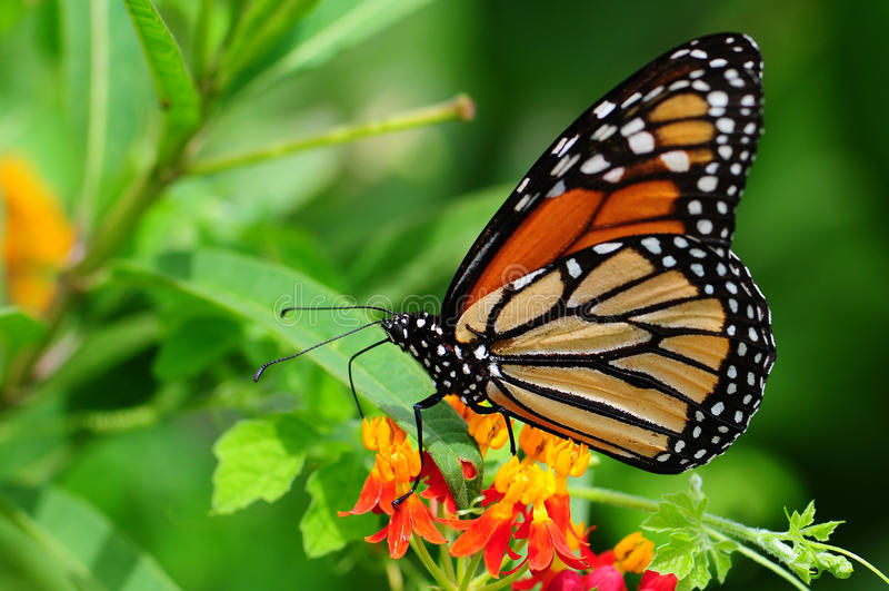 motyli monarcha obraz royalty free