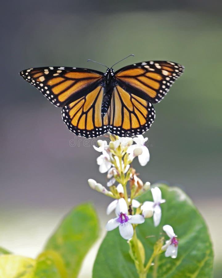 Motyli monarcha obrazy royalty free
