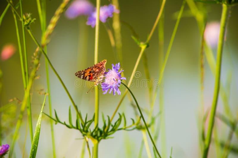 Motyli napoju nektar na lillac kwiacie obraz stock