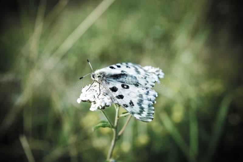 Motyli Parnassius nomion zdjęcia royalty free