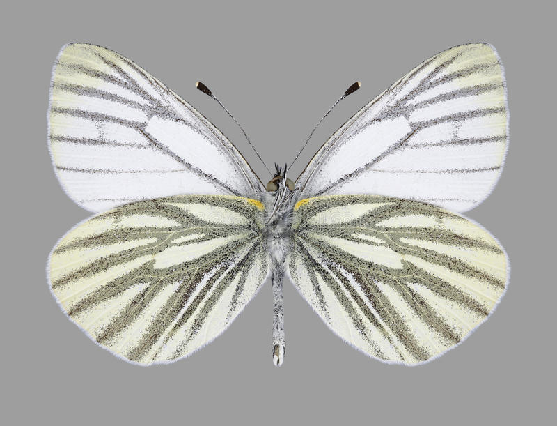 Motyli Pieris napi samiec spód zdjęcia stock