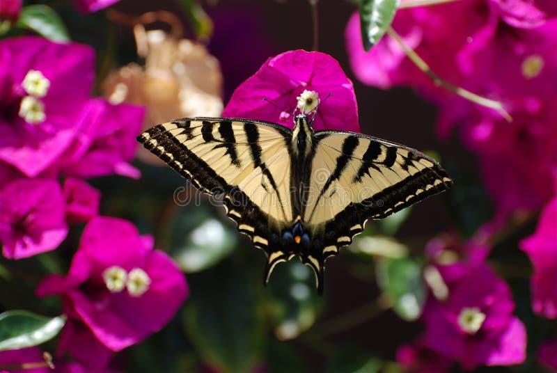motyli swallowtail tygrysa western zdjęcie stock