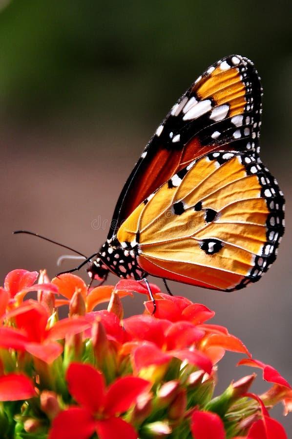 motyli tygrys obraz stock