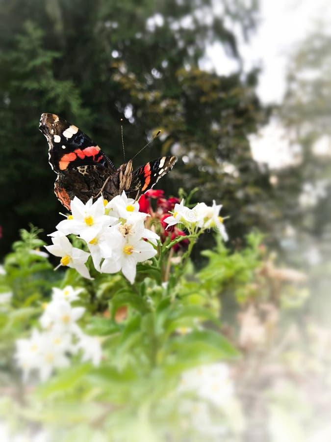 Motyli vanessa atalanta na białych kwiatach z bielu kątem i zieleni tłem obrazy stock
