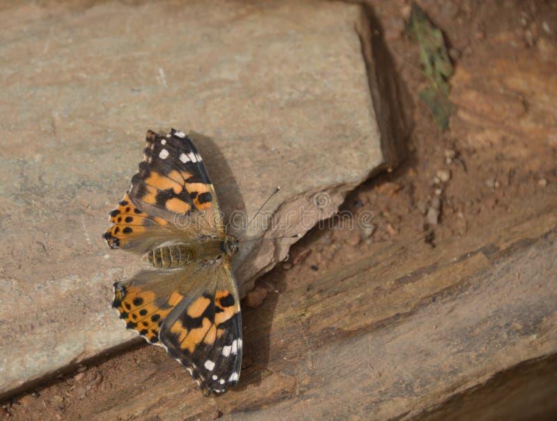 Motyli vanessa cardui zdjęcia royalty free