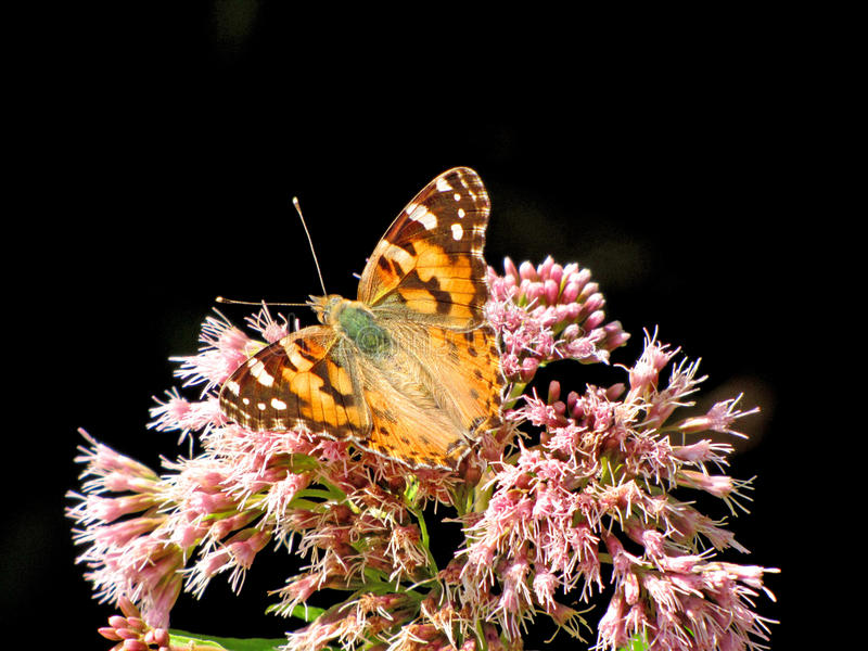 Motyli Vanessa cardui obrazy stock