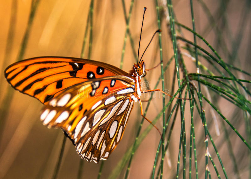 Motyli zatoki Fritillary lądował na australijskiej sośnie zdjęcie stock